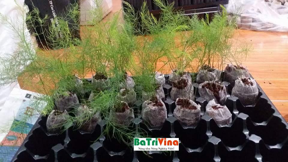 măng tây được trồng trong viên nén ươm hạt